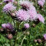 photo of Canadian thistle