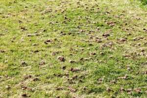 photo of a lawn filled with clumps of grass